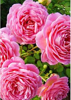 Роза английская Настоящая любовь