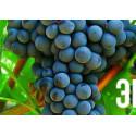 Виноград Триумф