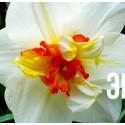 "Нарцисс ""Flower Drift"" 3шт в упаковке"